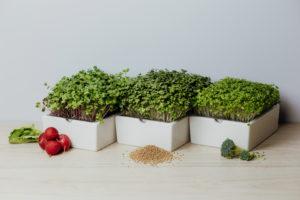 Drei Heimgarts nebeneinander mit Microgreens Radieschen, Senf und Brokkoli